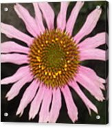 Coneflower In The Pink Acrylic Print