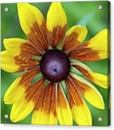 Coneflower - New England Wild Flower Acrylic Print