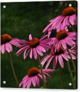 Coneflower Spray Acrylic Print