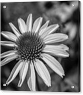 Conehead Daisy In Black And White Acrylic Print