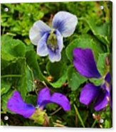 Confederate And Purple-blue Violets Acrylic Print