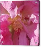 Confederate Rose Acrylic Print