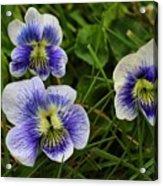 Confederate Violets Acrylic Print