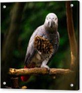 Congo African Grey Parrot Acrylic Print