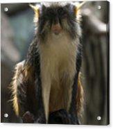 Congo Monkey1 Acrylic Print