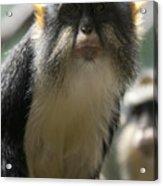 Congo Monkey2 Acrylic Print
