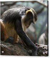 Congo Monkey3 Acrylic Print