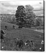 Congregating Cows. Jenne Farm Cow Reading Vermont Black And White Acrylic Print