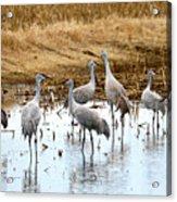Congregating Sandhill Cranes Acrylic Print