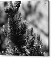 Conifer Acrylic Print