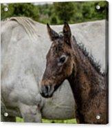Connemara Foal Acrylic Print