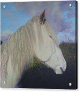 Connemara Pony Acrylic Print