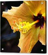 Conservatory Hibiscus Acrylic Print