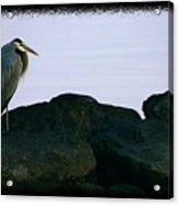 Contemplating Heron Acrylic Print