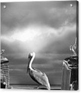 Contemplating The Pelican Acrylic Print