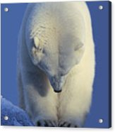 Contemplation Polar Bear Acrylic Print