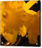 Contemporary Flower Artwork 10 Daffodil Flowers Evening Glow Acrylic Print