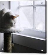 Content Cat Acrylic Print