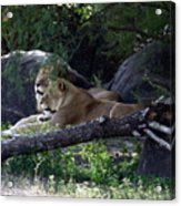 Contented Acrylic Print