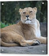 Contented Lioness Acrylic Print