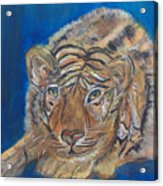 Contented Tiger Acrylic Print