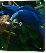 Contorted Parrots Acrylic Print
