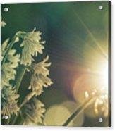 Contra Jour Flowers 1 Acrylic Print