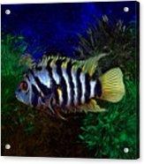 Convict Cichlid Fish Acrylic Print