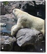 Cool Bears Acrylic Print