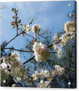 Cool Cherry Blossoms Acrylic Print