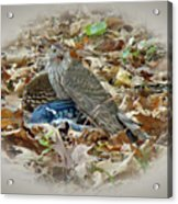 Cooper's Hawk - Accipiter Cooperii - With Blue Jay Acrylic Print