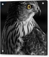 Coopers Hawk Bw Acrylic Print