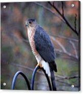 Coopers Hawk In Autumn Acrylic Print