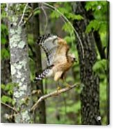Coopers Hawk In New Hampshire Acrylic Print