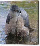 Cooper's Hawk In Stream Acrylic Print