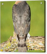 Cooper's Hawk In The Backyard Acrylic Print