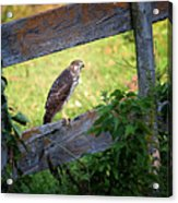 Coopers Hawk Perched On A Weathered Fence Acrylic Print