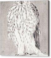 Coopers Hawk Acrylic Print