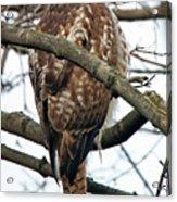 Coopers Hawk Winter Acrylic Print