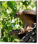 Cooper's Hawks Mating Acrylic Print