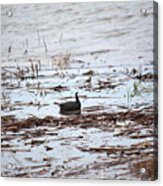 Coot In The Weeds Acrylic Print