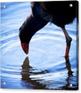 Coot Pond Droplet Acrylic Print