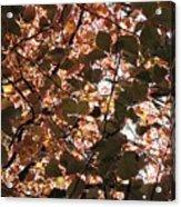 Copper Beech Acrylic Print