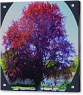 Copper Birch Acrylic Print