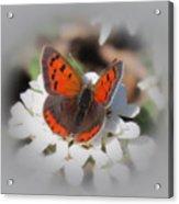 Copper Glow - Butterfly Acrylic Print