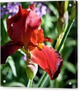 Copper Iris Squared 1 Acrylic Print