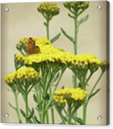 Copper On Yellow - Butterfly - Vignette 2 Acrylic Print