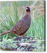 Copper Pheasant Acrylic Print