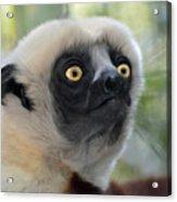 Coquerel's Sifaka Lemur Acrylic Print