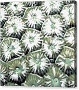 Coral Close Up  Acrylic Print